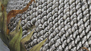 Почему помогают семечки от изжоги
