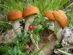 лесные грибы