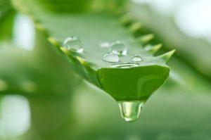 сок алоэ капает с ветки этого растения